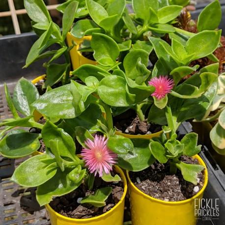 Aptenia cordifolia - product size