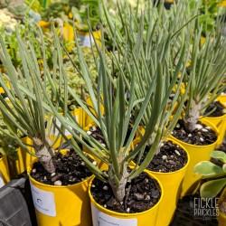 Kleinia neriifolia - product size
