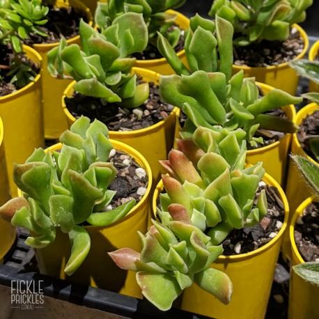 Cotyledon papillaris - Product size