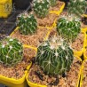 Stenocactus crispatus
