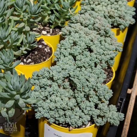 Sedum dasyphyllum - product size