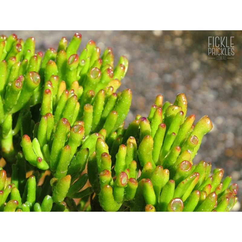 Crassula ovata'Gollum' (Green Coral) Fickle Prickles ~ 01154216_Sukkulenten Crassula Ovata Gollum