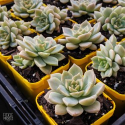 Graptoveria species - product size