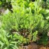 Crassula species