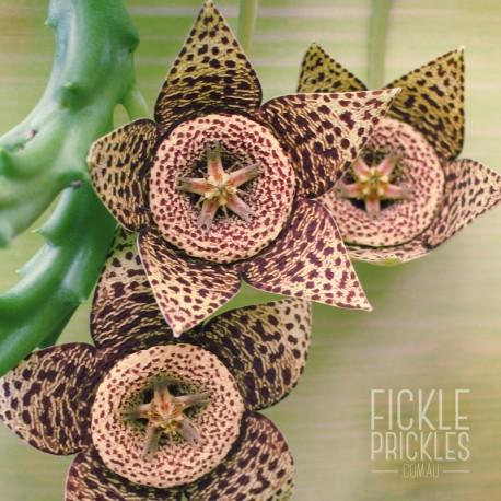 Orbea variegata flowers