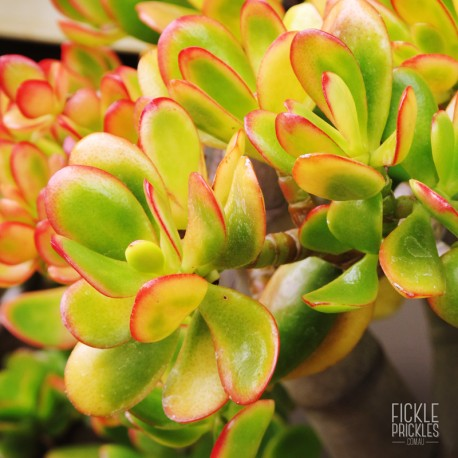 Crassula ovata 'Hummels Sunset'