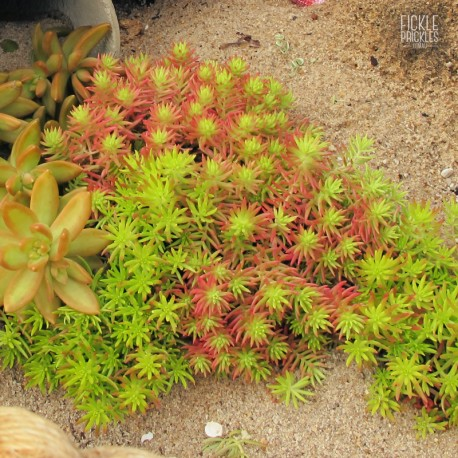 Sedum 'Gold Mound'