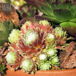 Sempervivum arachnoideum