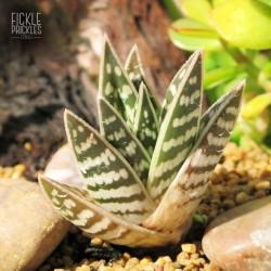 Aloe variegata 'Gator'