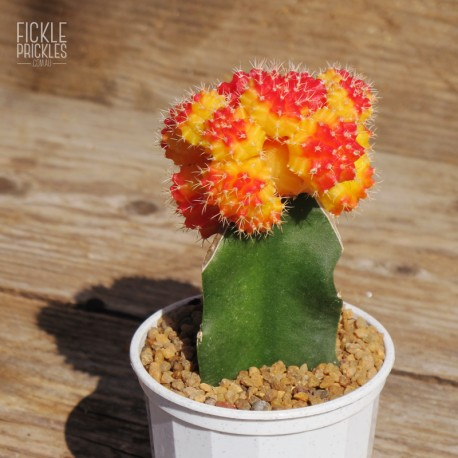 Grafted Cactus - Sunset