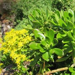Sedum dendroideum ssp. praealtum
