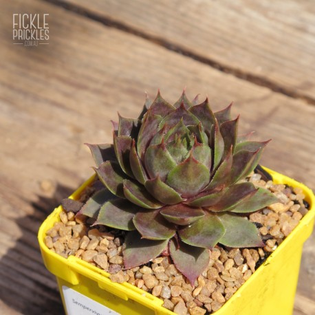 Sempervivum heuffelii 'Purple Haze'