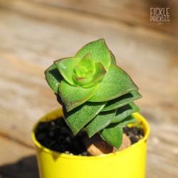 Crassula perforata - Green