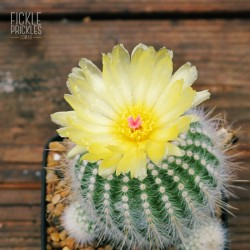 Parodia scopa in flower