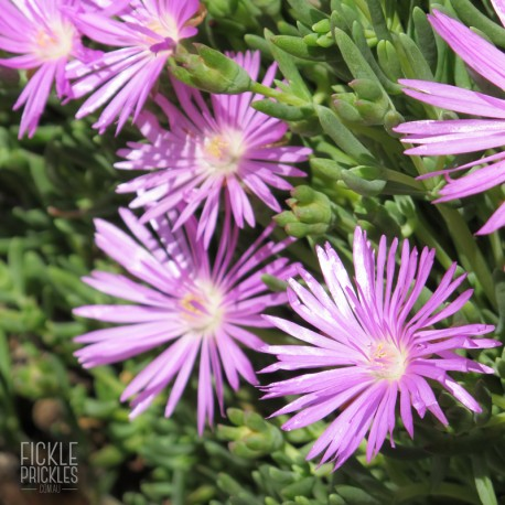 Mesembryanthemum crystallinum - Mauve