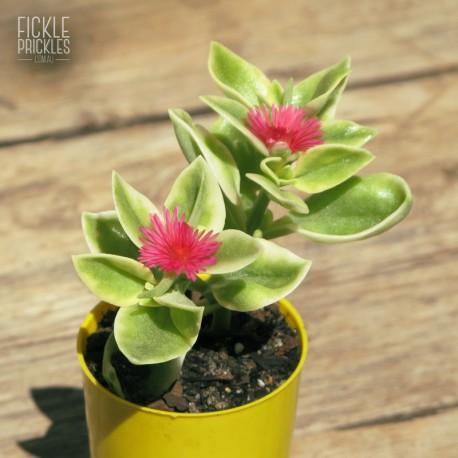 Aptenia cordifolium variegata (Product size)