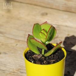 Cotyledon woodii - Product Size
