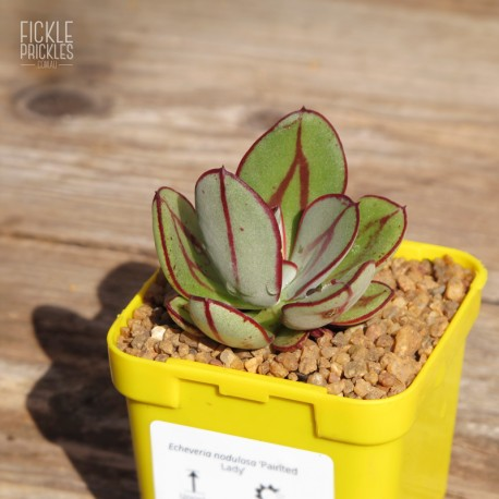 Echeveria nodulosa 'Painted Lady' - Product SIze