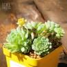 Echeveria globulosa - Product Size