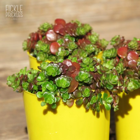 Sedum species (Product Size)