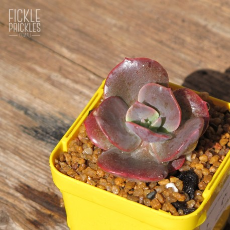 Echeveria 'Blue Metal' - Product Size