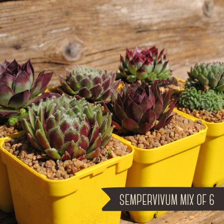 Sempervivum Mix of 6