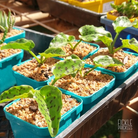 Ledebouria petiolata 'Black Pearl' - product size