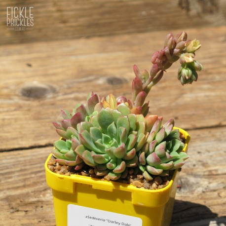 Sedeveria 'Darley Dale' - product size