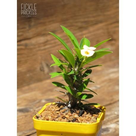 Euphorbia milii - Yellow