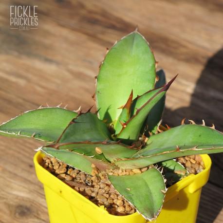 Agave kerchovei 'Huajuapan Red' - Product Size