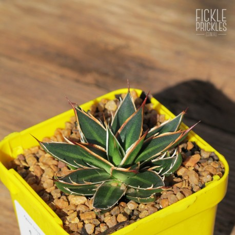 Agave schidigera 'White Stripe' - Product Size