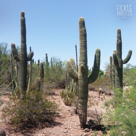 Carnegiea gigantea at the Desert Botanical Garden in Phoenix, Arizona.