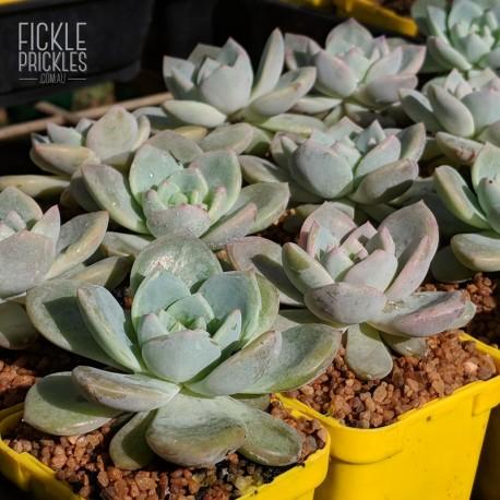 Echeveria monroe - product size