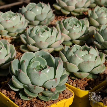 Echeveria derenbergii x purposum - product size