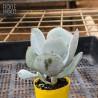 Cotyledon orbiculata 'Dan's Delight' (Product Size)