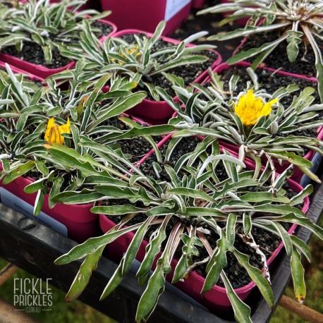 Dymondia margaretae - Product size
