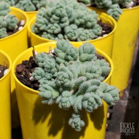 Sedum dasyphyllum var. glanduliferum - product size