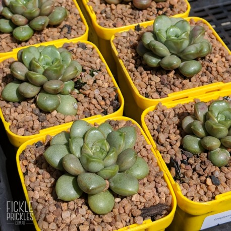 Graptoveria 'Amethorum' - product size