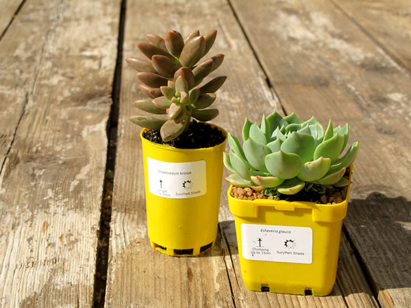 Succulent wedding favours in plastic pots