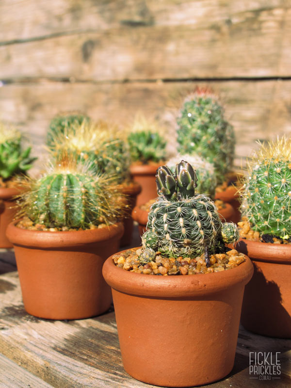Cacti wedding favours in a terracotta pot