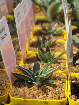 Named varieties of Agave
