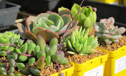 Succulent Collectables