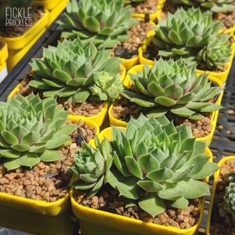 Sempervivum 'Georgia Rowan' - product size