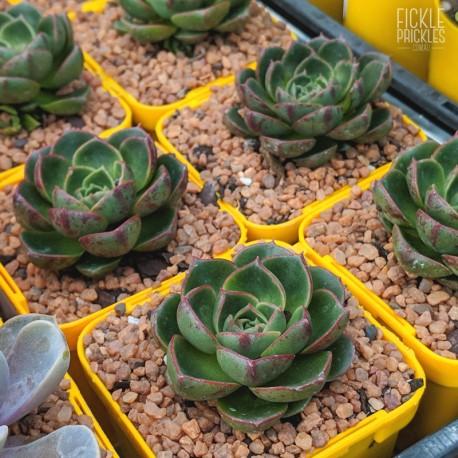 Echeveria longissima var. longissima - product size
