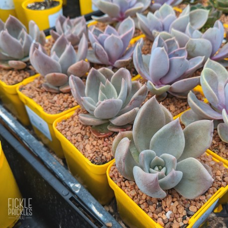 Echeveria 'Silver Queen' - product size