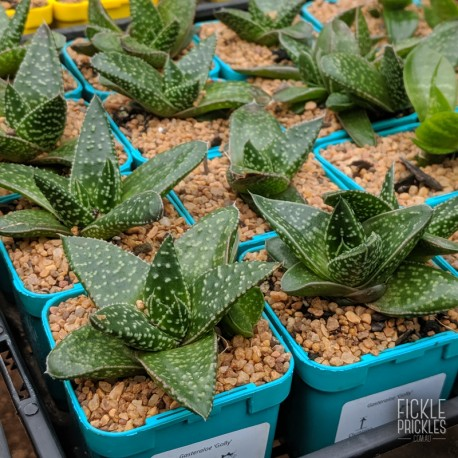 Gasteraloe 'Golly' - Product Size