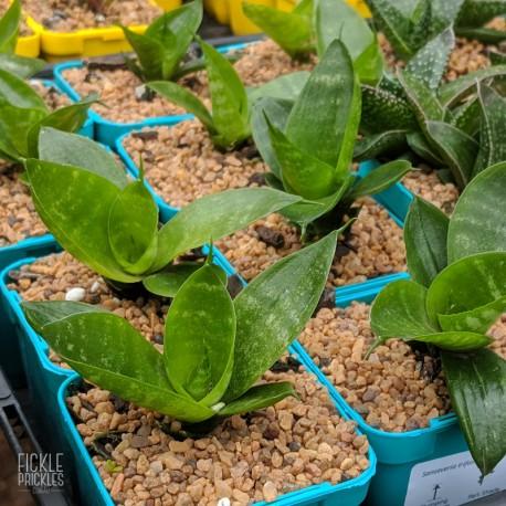 Sansevieria trifasciata 'Hahnii' - product size