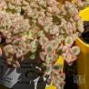 Crassula marginalis var minuta variegata