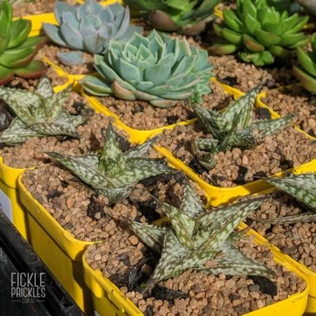 Aloe 'Cha-Cha' - product size