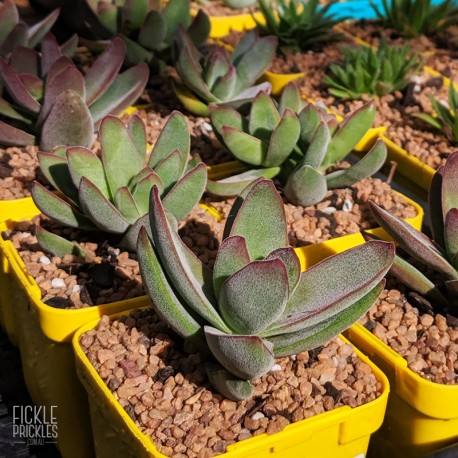 Crassula 'Shandy' - product size